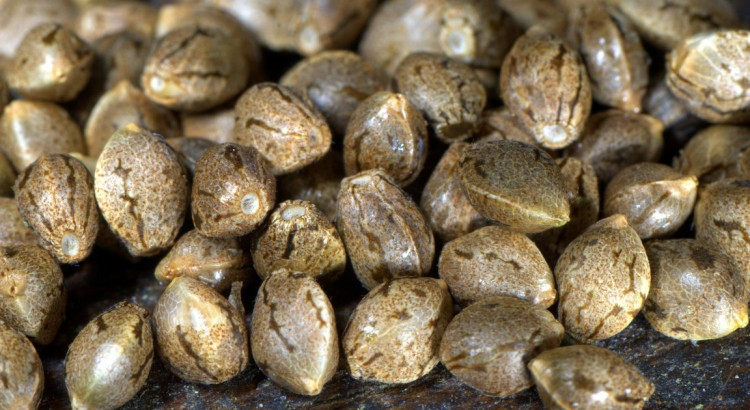 What Are Autoflowering Cannabis Seeds & How Do They Work?
